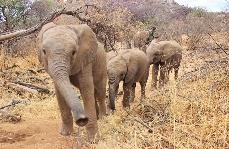 Elephants Lewa