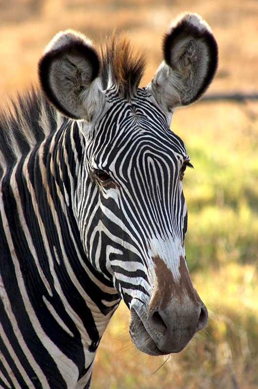 Zebra Lewa